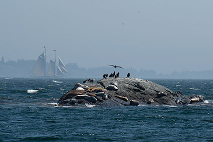 Shags and Seals viewing Race off Mouse Island